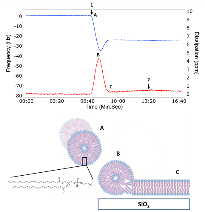 Figure 2: Example QCM-D data showing vesicle surface adsorption (B) and rupture to form a supported lipid bilayer (C).  The resonant frequency (blue line, left Y axis) of the Q-Sensor decreases as mass is bound to the surface and increases as the vesicle ruptures releasing associated water.  The dissipation (red line, right Y axis) relates to the viscoelasticity (softness or rigidity) and initially increases as the vesicles adsorb intact until a critical coverage is reached whereby the vesicles rupture and form a rigid bilayer.  The cartoon shows an intact vesicle coming into contact with the surface and then rupturing to form a SLB.  The sample is introduced at arrow 1 and washed with buffer at arrow 2.  The structure of DOPC is shown in the inset.