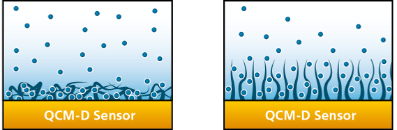 collapsed and hydrated thin film.png